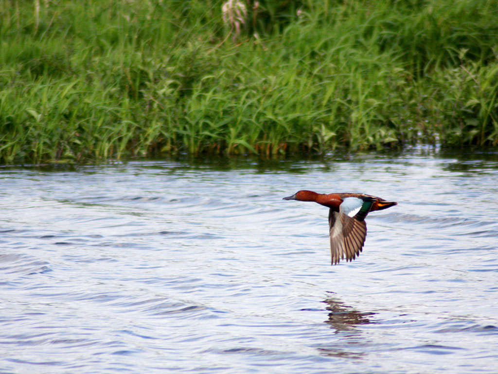 Duck flying low across water